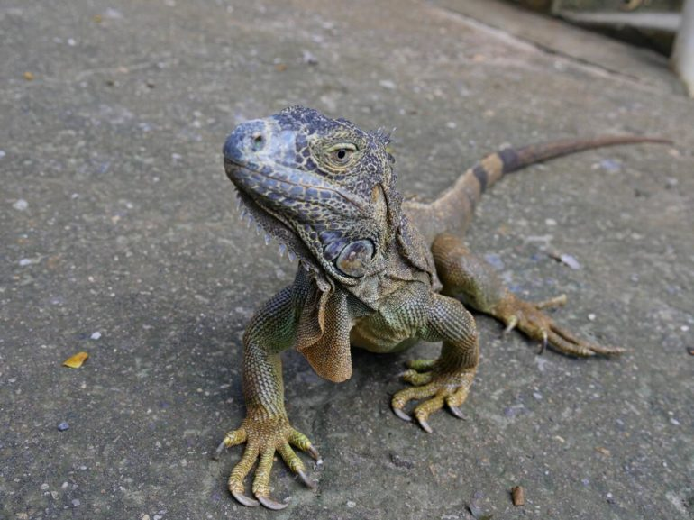 Iguan from Hondura