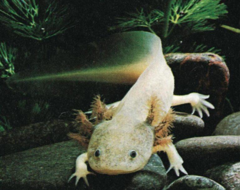 Axolotl or tiger salamander